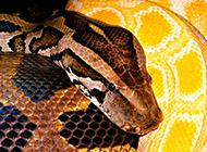 顏色犀利兇猛的巨蟒蛇圖片