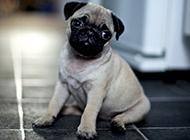 水汪汪大眼睛的八哥犬萌图
