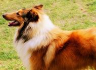 純種蘇格蘭牧羊犬側面特寫圖片