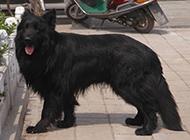 温驯忠实的中国黑熊犬图片