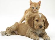 可卡犬幼崽可愛寵物寫真圖片