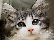 可爱萌萌哒挪威森林猫图片