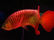 辣椒紅龍魚圖片漂亮名貴