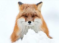 茫茫大雪中觅食的狐狸高清图片