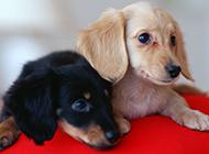 短毛腊肠犬乖巧模样图片可爱迷人