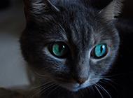 孟買貓眼神迷人圖片