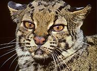 丛林的居住者野生云猫图片