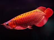中國最貴紅龍魚圖片欣賞
