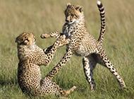花豹犀牛野生動物圖片合集