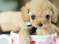 可爱宠物狗茶杯犬图片