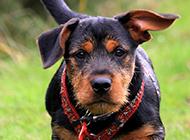 三个月杜宾犬户外活动图片