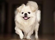京巴犬调皮活泼图片