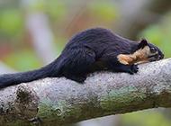 黑巖巨松鼠樹梢捕食抓拍