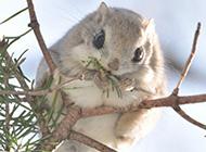 枝头上的宠物小飞鼠图片