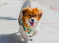 步态轻盈的蝴蝶犬狗狗图片