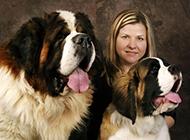巨型圣伯納犬吐舌賣萌可愛圖片分享