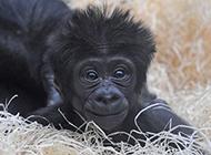 可愛大猩猩圖片搞怪逗人
