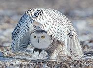羽翼飽滿的野生飛禽雪鸮圖片