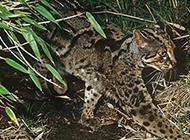 猫科动物野生云猫图片欣赏