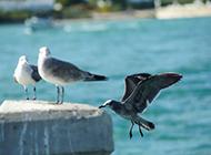 海鸟图片欣赏 停驻的海鸥高清特写