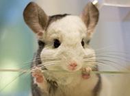 南美洲栗鼠无辜呆萌图片