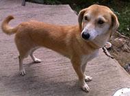 中華田園犬靈活好動圖片