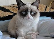 传统暹罗猫图片坐姿滑稽可爱