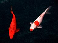 紅白錦鯉水中暢游圖片
