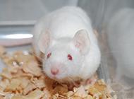 可爱害羞小白鼠图片