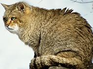 婆罗洲金猫图片眼神专注坚定