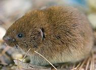 南方田鼠晝夜活動的圖片