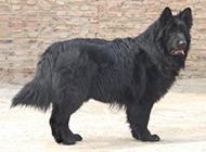 身材健壮高大的黑熊犬图片