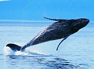 虎鲸鱼跃出水面图片