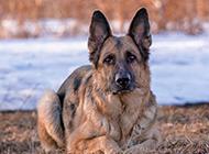成年德国牧羊犬趴着图片欣赏