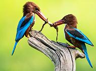 荆棘鸟的图片可爱至极
