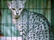 埃及貓神情警惕圖片