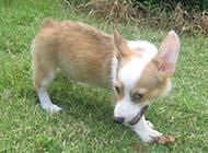 威爾士柯基犬搞笑眼神圖片