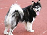 人见人爱的纯种阿拉斯加犬图片