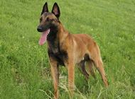 军警犬比利时马犬图片