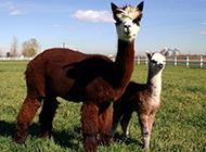 长相迷人有趣的宠物小羊驼图片