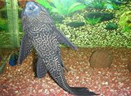 最大的清道夫鱼高清实拍图片