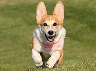 可愛的柯基犬草地奔跑圖片