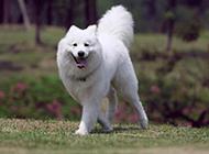 純種薩摩耶犬戶外活潑好動圖片