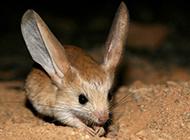 长耳跳鼠长相可爱迷人图片