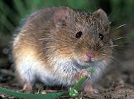 加洛特田鼠吃嫩葉圖片