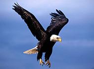 天空翱翔老鷹唯美圖片欣賞
