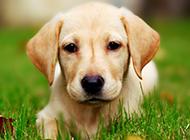 六個月拉布拉多犬唯美壁紙圖片