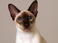 淡紫虎斑暹羅貓圖片壁紙大全