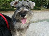 小型可爱雪纳瑞犬图片
