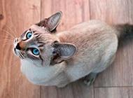 印度暹羅貓仰望的姿態圖片
